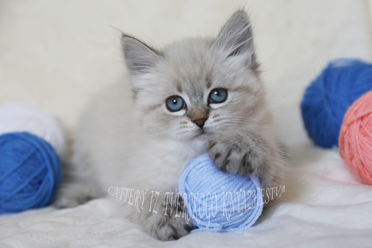 Neva masquerade kitten available for sale