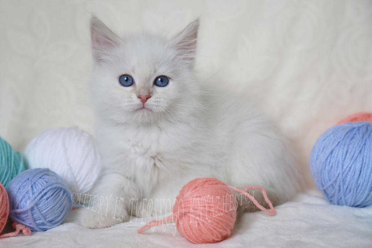 Neva masquerade kitten red (cream) tabby point