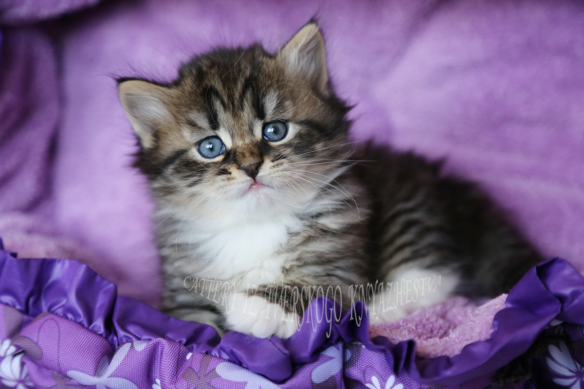 to buy a Siberian kitten of the colour black speckled with white